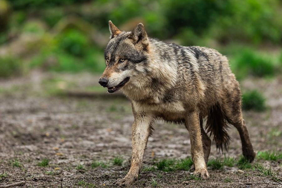 El Ayuntamiento pone en valor al sector agrario e insta al Gobierno Central a que elimine la inclusión del lobo entre las especies protegidas